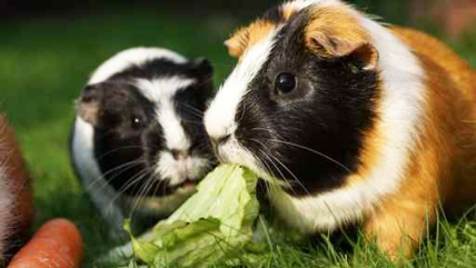 So bleiben Kaninchen und Meerschweinchen gesund